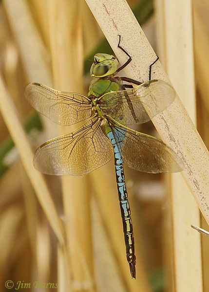 Common Green Darner male, Maricopa Co. AZ, August 2018--0601