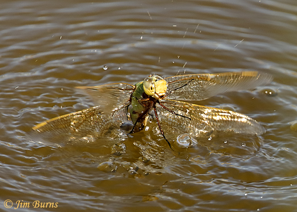 Common Green Darner male, attacked by fish while tandem ovipositing, Maricopa Co., AZ, September 2018--0622