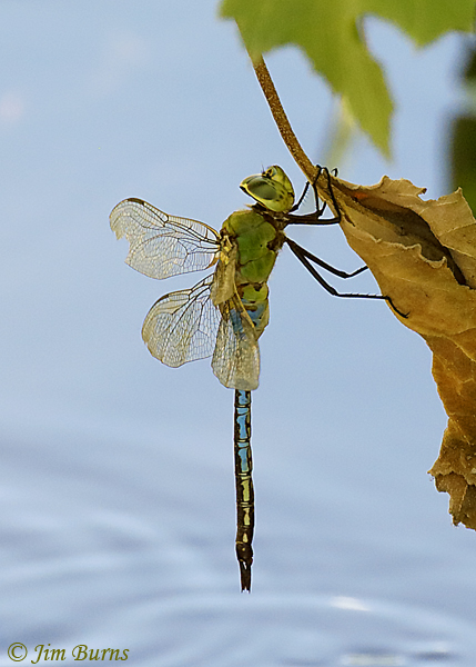 Common Green Darner male hanging out in the shade, Maricopa Co. AZ, September 2018--1021