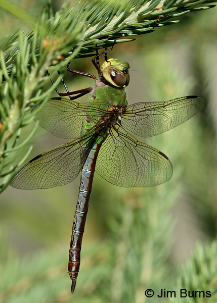 Common Green Darner female, Door Co., WI, July 2017