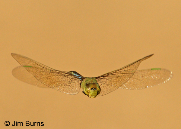 Common Green Darner in flight, Hidalgo Co., TX, October 2011