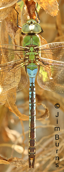 Common Green Darner male dorsal close-up, Pinal Co., AZ, July 2016