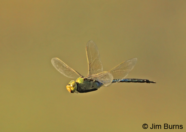 Common Green Darner male in flight, Pinal Co., AZ, August 2012