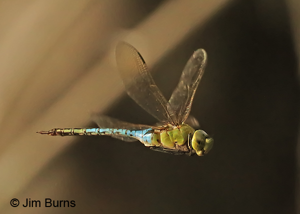 Common Green Darner male in flight, Hidalgo Co., TX, November 2016