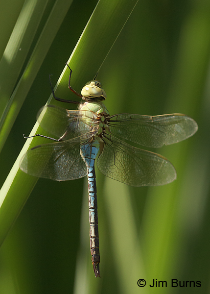 Common Green Darner male, Maricopa Co., AZ, July 2016