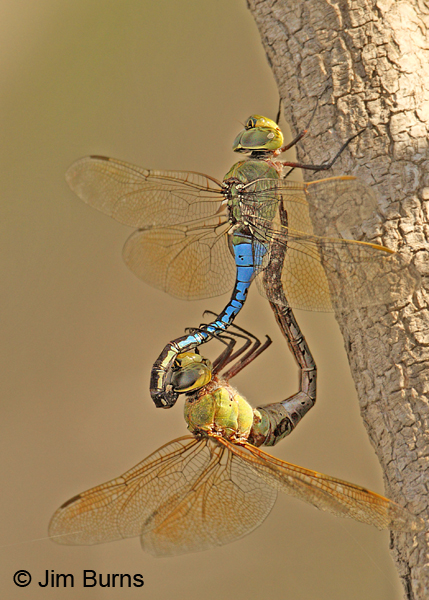 Common Green Darner pair in wheel, Hidalgo Co., TX, October 2011