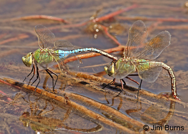 Common Green Darner pair in tandem, female ovipositing, Navajo Co., AZ, June 2012