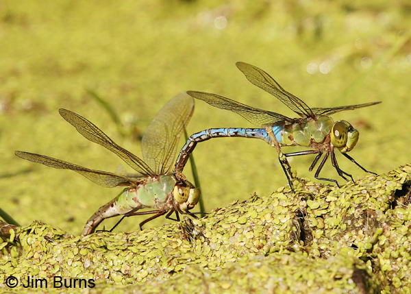 Common Green Darner pair in tandem, female ovipositing, Cameron Co., TX, October 2013