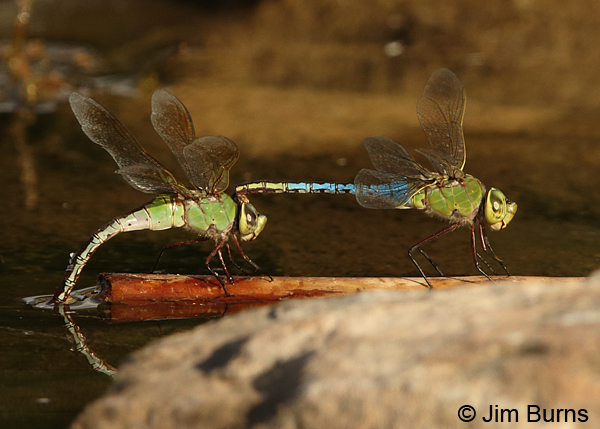 Common Green Darner pair in tandem, female ovipositing, Maricopa Co., AZ, August 2014