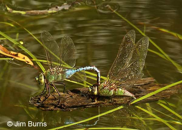 Common Green Darner pair in tandem, female ovipositing, Cameron Co., TX, November 2016