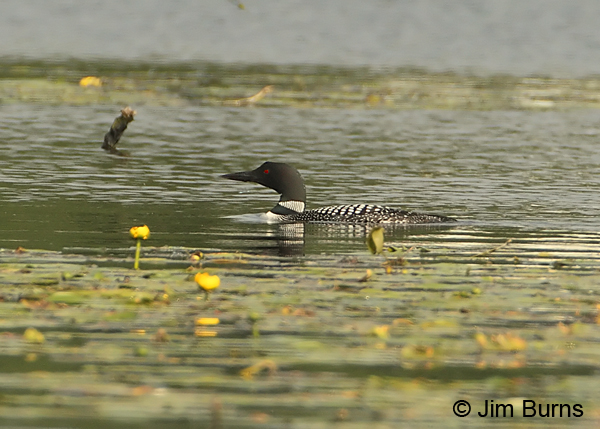 Common Loon in Water Lily pads
