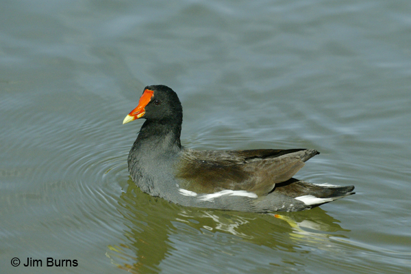 Common Gallinule adult breeding