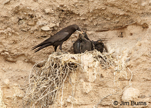 Common Raven breakfast