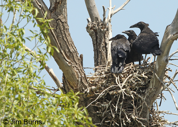 Common Raven cottonwood nest with three jully grown juveniles