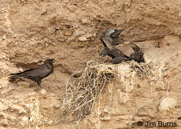 Common Raven family