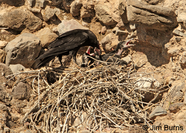 Common Raven female feeding nestlings