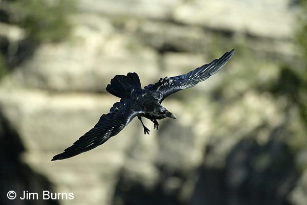 Common Raven in flight