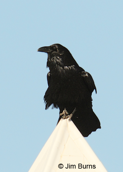 Common Raven on Hunt's tomb-the exposure nightmare