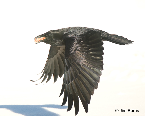 Common Raven on way to cache
