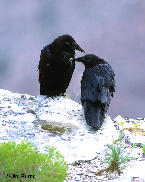 Common Ravens allopreening