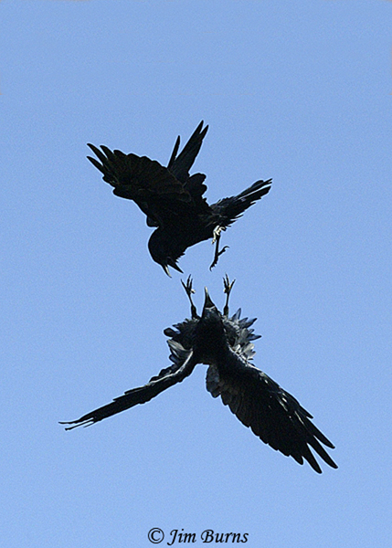Common Ravens locking talons