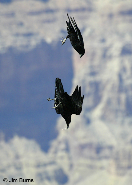 Common Ravens playing with twig