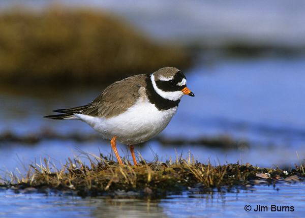 Common Ringed Plover in water