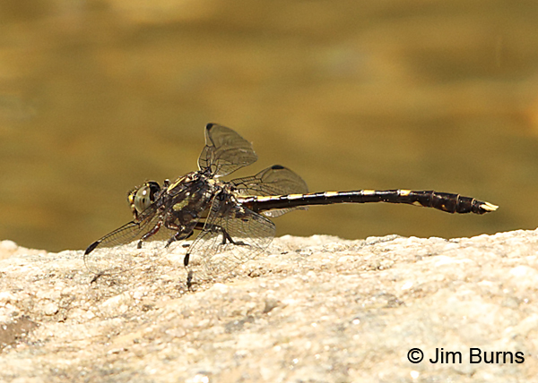 Common Sanddragon male, Oconee Co., SC, May 2017