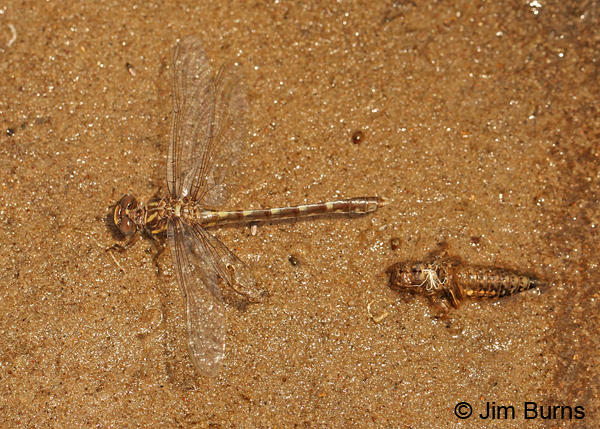 Common Sanddragon teneral female and exuvia, Eau Claire Co., WI, June 2014
