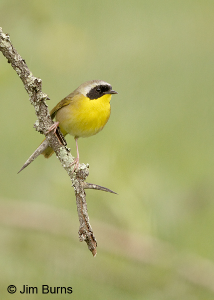 Common Yellowthroat male on branch