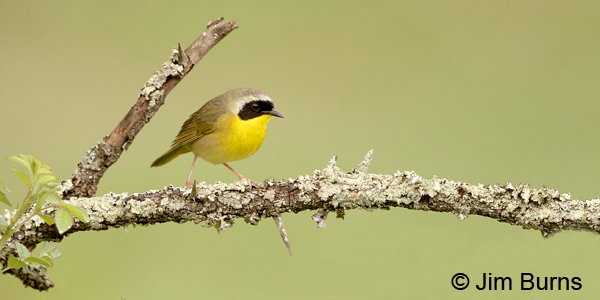 Common Yellowthroat male on lichen