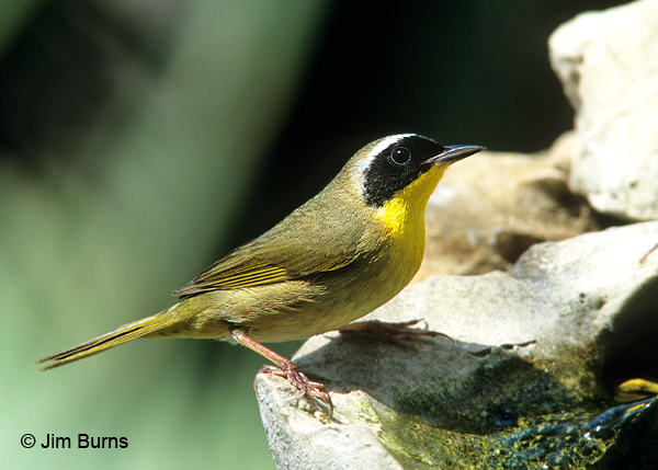 Common Yellowthroat male at water