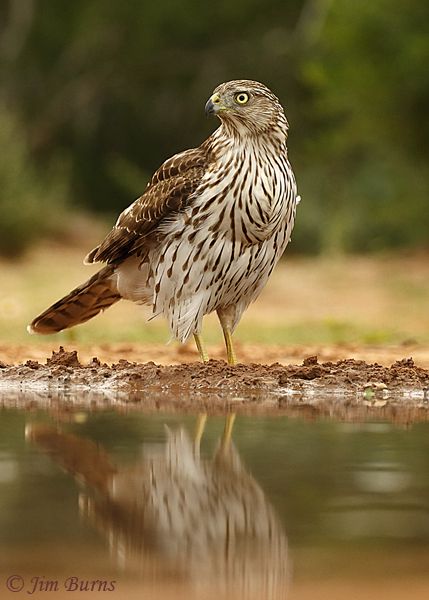Cooper's Hawk juvenile at water hole--0715