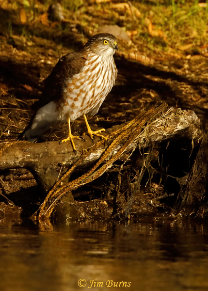 Cooper's Hawk immature eyeing a river bath--1192