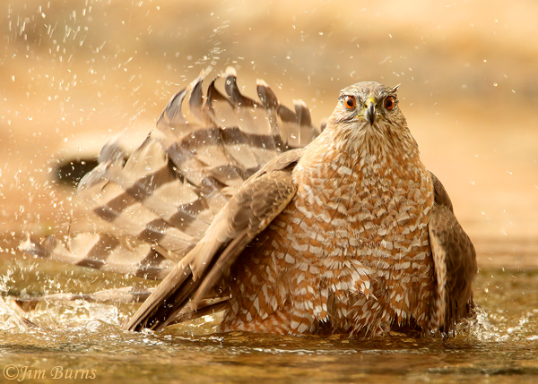 Cooper's Hawk adult bathing #3--3606
