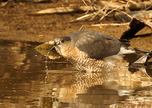 Cooper's Hawk adult drinking--6077