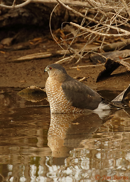 Cooper's Hawk adult bathing #2--6079