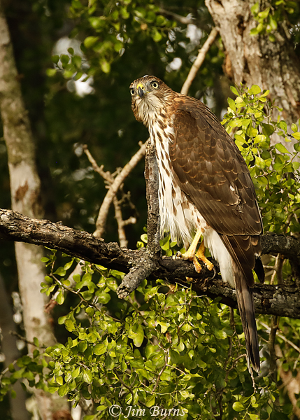 Cooper's Hawk juvenile in deep woods--8007