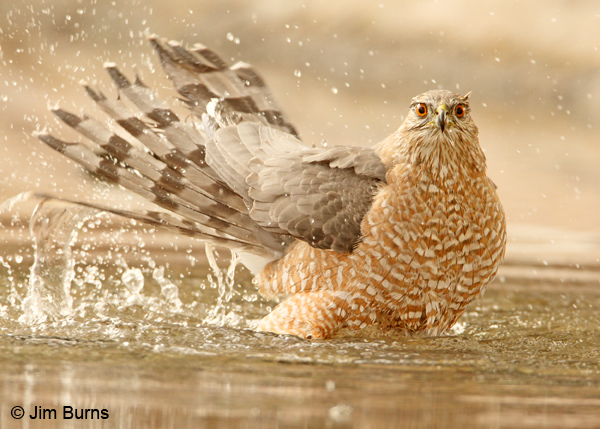 Cooper's Hawk adult bathing