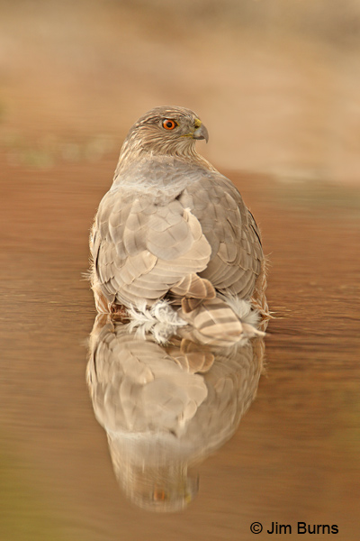 Coopers Hawk adult in water