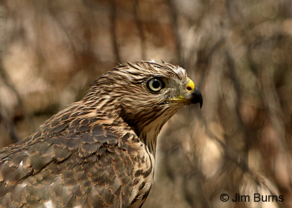 Cooper's Hawk fledgling head shot