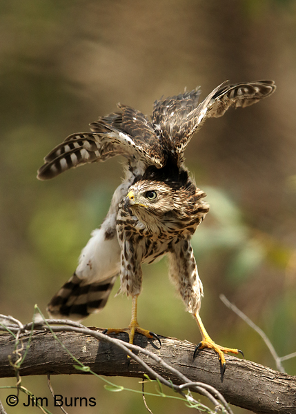 Cooper's Hawk fledgling wing stretch