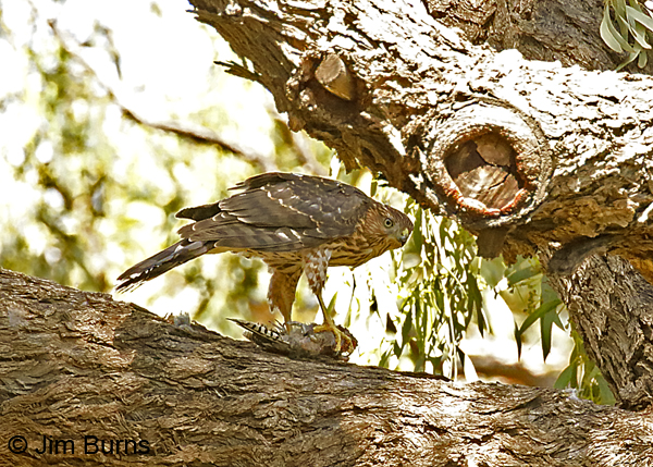 Cooper's Hawk juvenile with Gila Woodpecker--9035