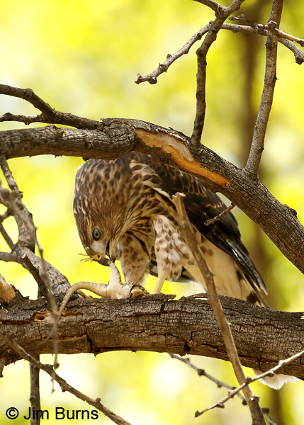 Cooper's Hawk juvenile with Clark's Spiny Lizard--9178