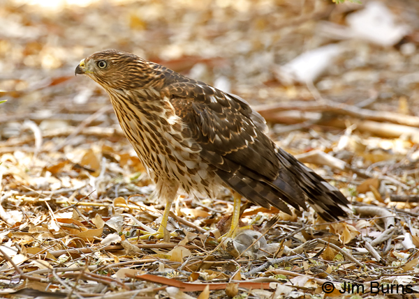 Cooper's Hawk juvenile with ground squirrel in left talon--9128