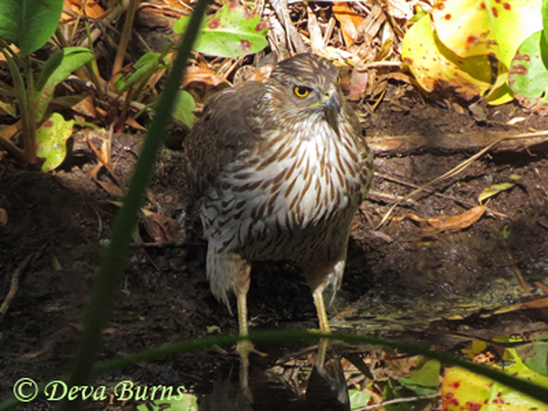 Cooper's Hawk juvenile at water hole