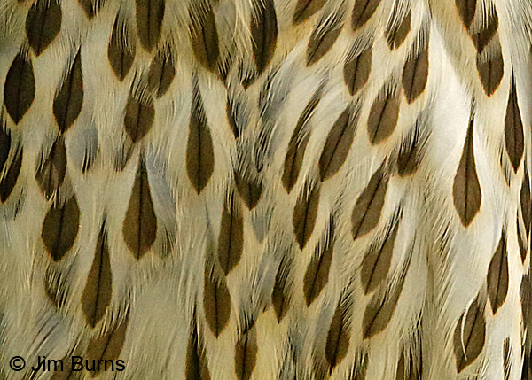 Cooper's Hawk juvenile feather detail