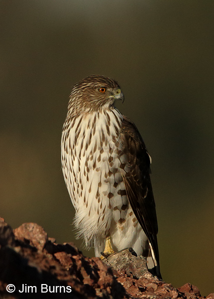 Cooper's Hawk juvenile on lookout