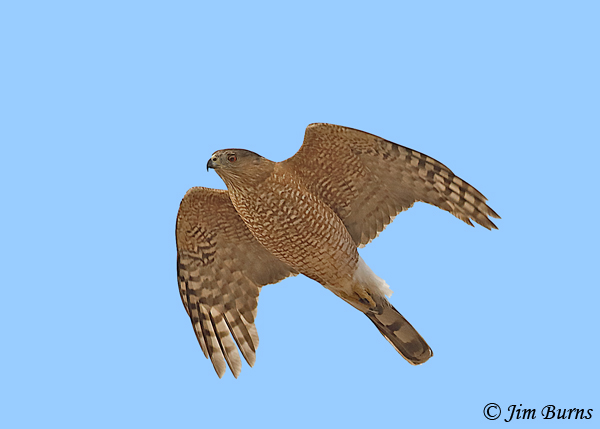 Cooper's Hawk adult in flight--3295