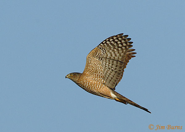 Cooper's Hawk adult in flight ventral view--6905